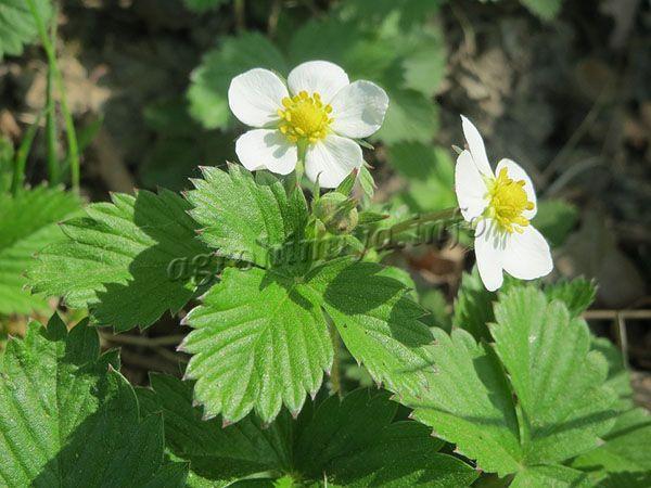 Цветы среднего размера с белыми лепестками и желтой сердцевиной