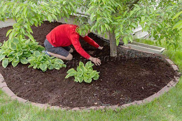 Торф можно вносить в качестве мульчи под растения