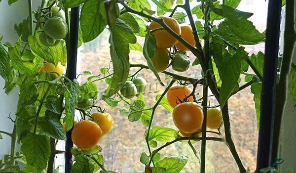 Уборку помидоров сорта Медовый спас проводят по мере их созревания