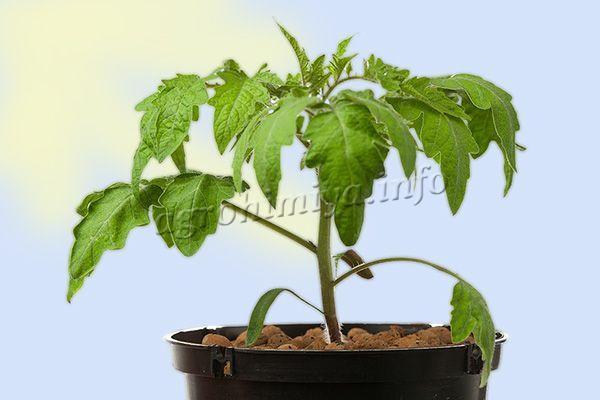 Выращивание Медового спаса рекомендуется проводить рассадным методом