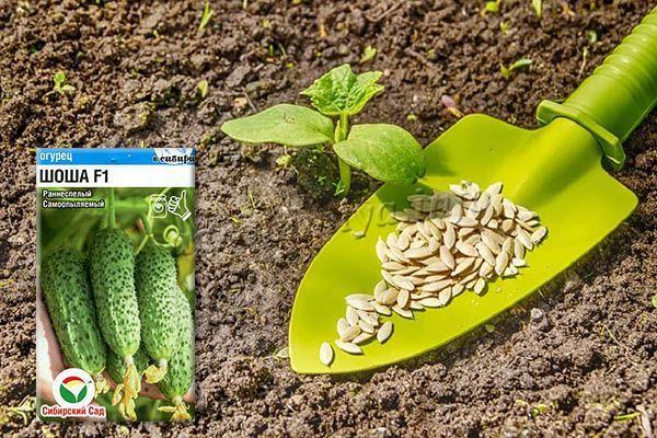 Выращивать огурцы Шоша можно рассадным или безрассадным способом
