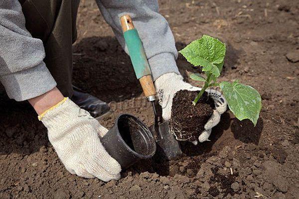 Выращивать рассаду нужно не меньше 25 дней, только после этого возможна пересадка на постоянное место