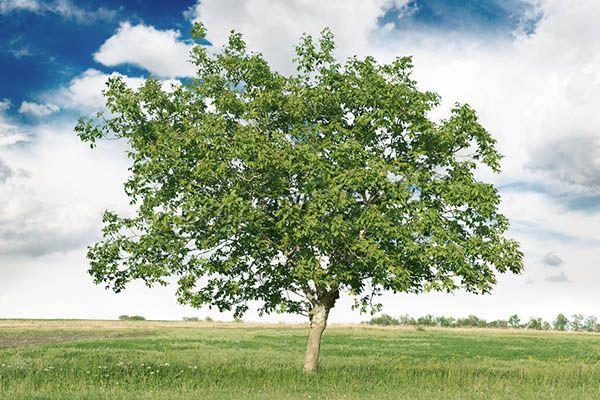Взрослый грецкий орех способен вырасти более чем на 25 метров