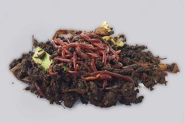 Фото красных Калифорнийских червей в компосте