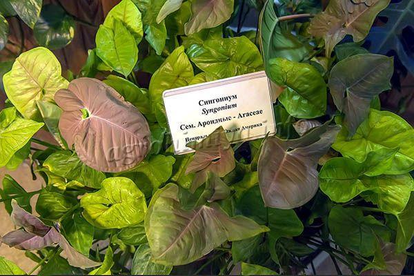 Окрас листвы однотонный или пестрый, с серебристыми штрихами, пятнами или жилками
