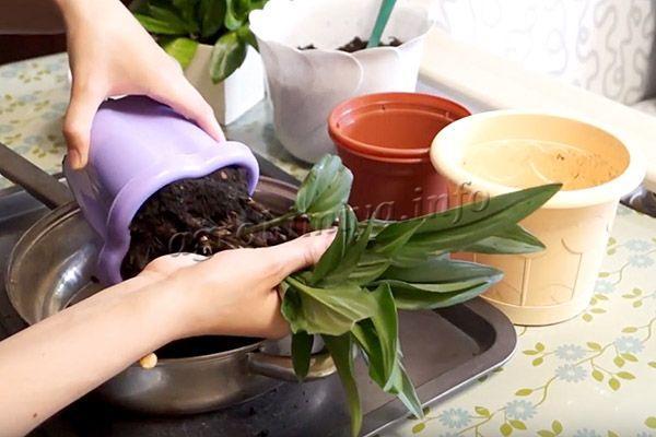 Пересадка молодых растений проводится раз в год, взрослые - раз в 2-3 года