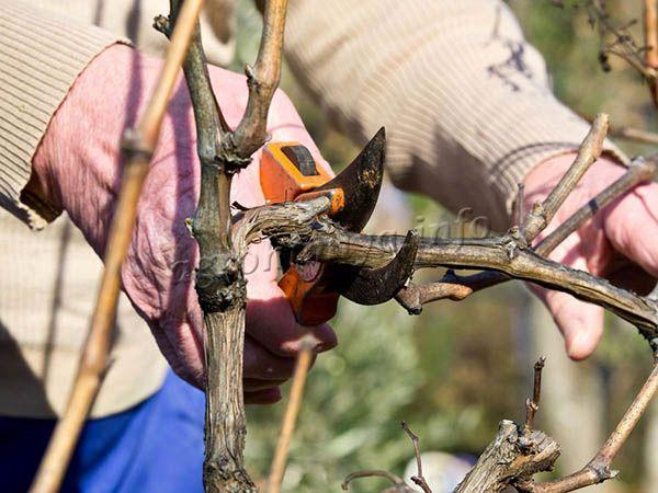 Первые 2-3 года развития кусты винограда Лора не обрезают, но затем, каждую осень нужно проводить эту процедуру