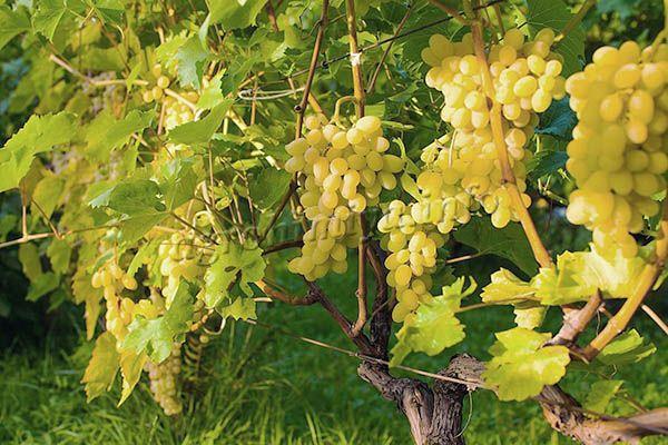 Первые ягоды Аркадии можно собирать через 110-120 суток после распускания почек