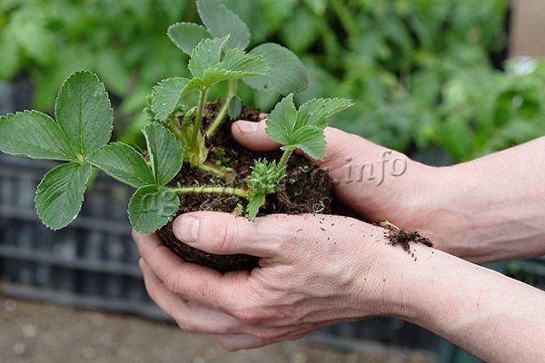 Рассаду клубники Альбион можно купить в магазине
