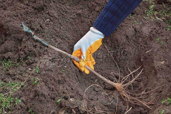 Сажать виноград лучше всего весной, когда земля прогреется до +10 градусов, а температура воздуха будет выше +15