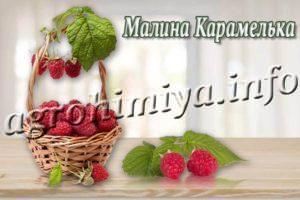 Сорт малины Карамелька