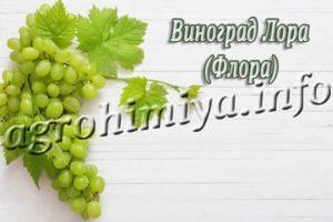Сорт винограда Лора (Флора)