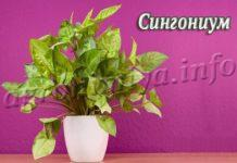 Цветок Сингониум (Syngonium)
