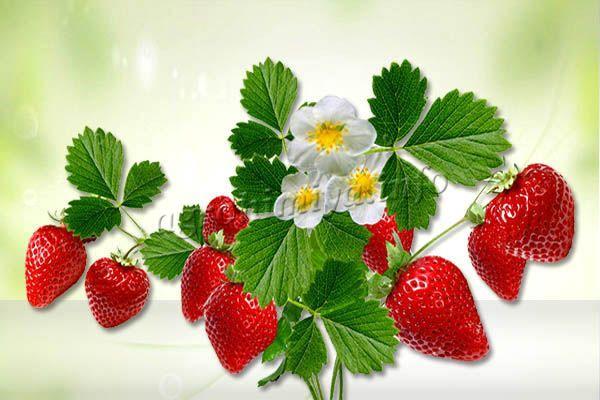 Цветонос прочный, стойкий, благодаря чему ягоды не падают на землю