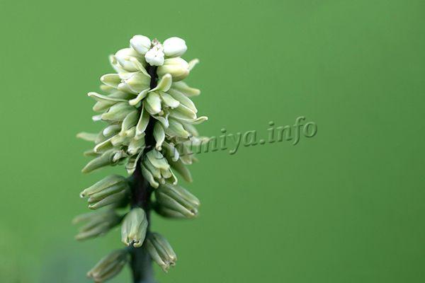 Цветы небольшие, бледно-бежевые или белые, колосовидные, аромат легкий приятный