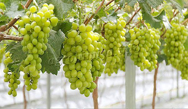 Урожайность с каждого кустика может быть 28-30 кг