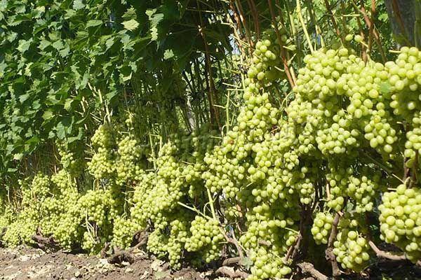 Урожайность с куста достигает 30-50 кг