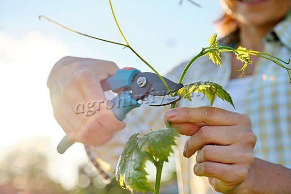 Весной можно срезать пагоны до того, как начнется сокодвижение в лозе