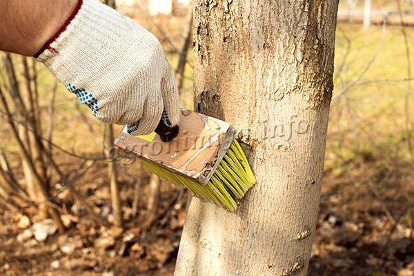 Белить можно только те деревья, кора которых уже начала покрываться естественными трещинками и бороздами