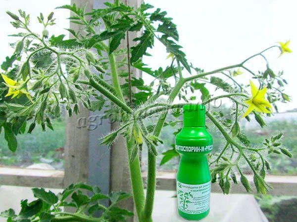 До плодоношения рекомендуется провести профилактическую обработку Фитоспорином