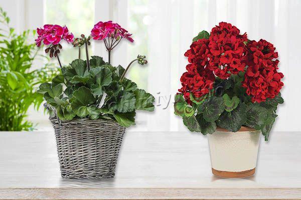 Если цветение Герани запаздывает, а очень хочется, можно цветение стимулировать в домашних условиях