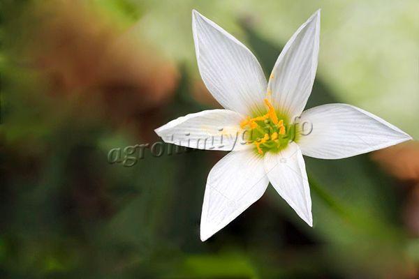 Фото Зефирантеса белого или белоснежного