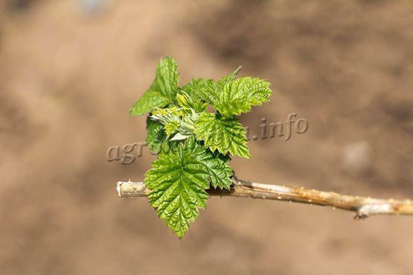 Первая обрезка малины Гусар делается весной