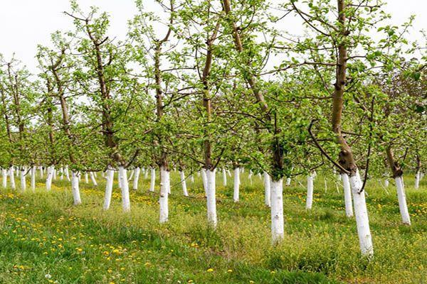 Побелка деревьев весной уберегает кору от солнечных ожогов