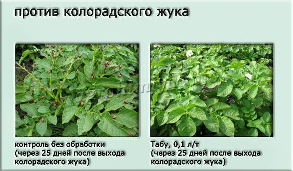 Протравитель Табу эффективен против проволочника, колорадского жука на картофеле, подсолнухе, кукурузе