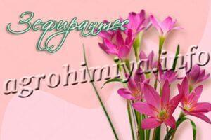 Цветы Зефирантес