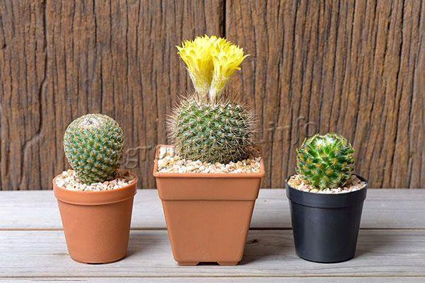 Если кактус не цветет или цветет скудно значит ему не хватает магния
