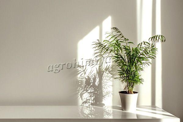 Фото Канарской финиковой пальмы