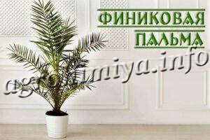 Комнатное растение Финиковая пальма