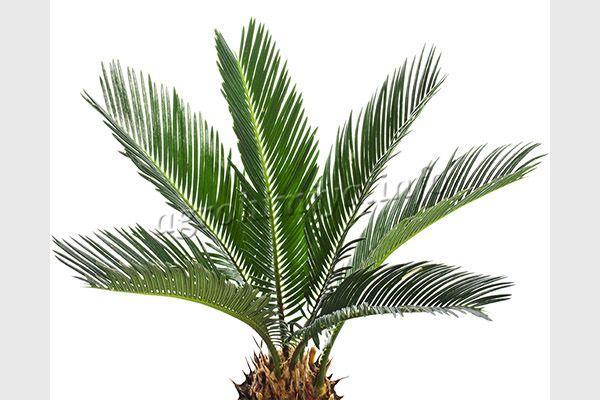 Листочки Финиковой пальмы непарноперистые, длинные и узкие, к верхушке заостренные