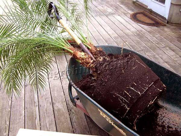 Пересадка для финиковой пальмы может быть настоящей проблемой, так как она эту процедуру плохо переносит