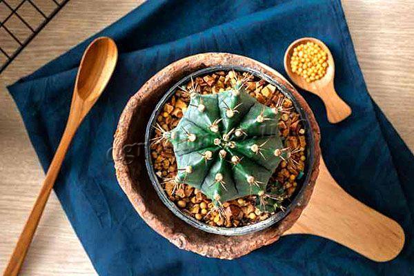 Первые удобрения кактусу вносят не раньше марта