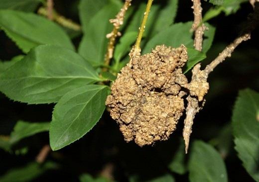 Бактериальный рак (Agrobacterium tumefaciens)