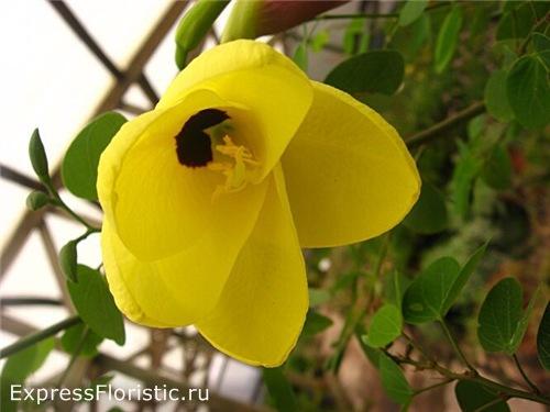 Баухиния (орхидейное дерево)