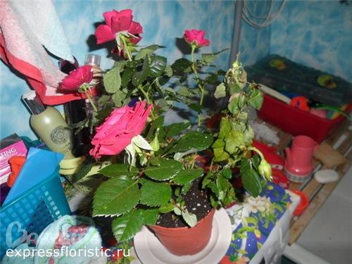 Что делать, если у роз опадает листва