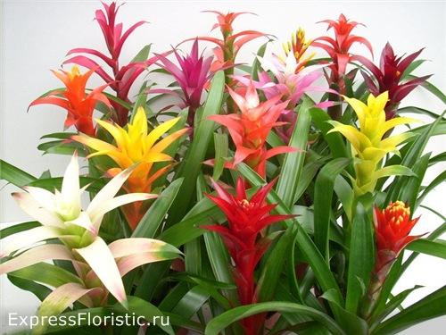 Домашний цветок Гузмания