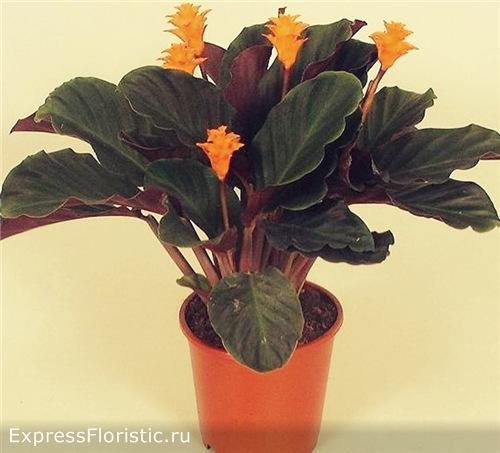 Домашний цветок Калатея цветущий