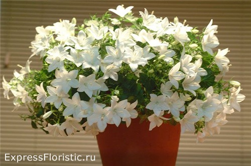 Домашний цветок Невеста