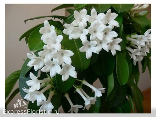 http://expressfloristic.ru/Домашний цветок жасмин