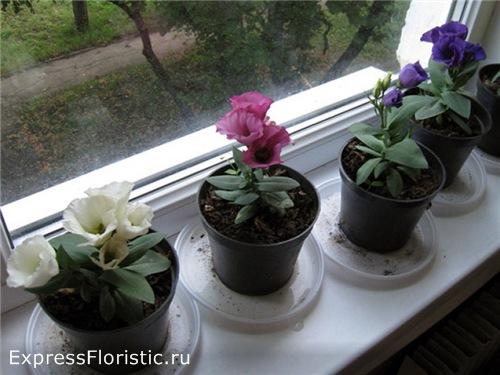 Эустома - принцесса цветов