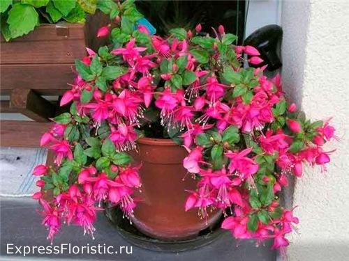 Фуксия - красивое комнатное растение