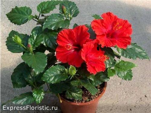 Гибискус или китайскую розу