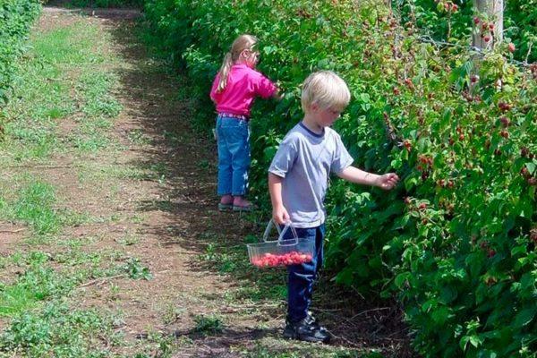 Как посадить малину на даче