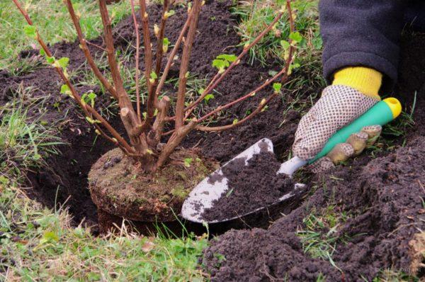 Как произвести посадку деревьев и кустарников