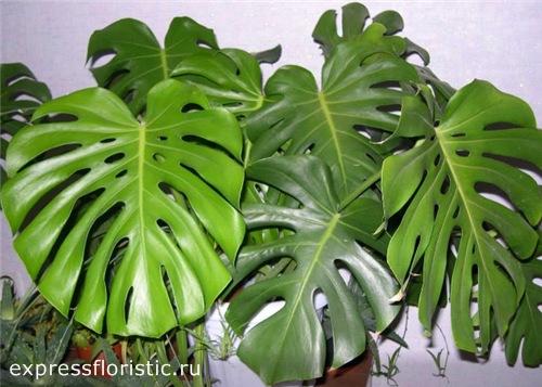 Монстера - одно из самых интересных и сложных комнатных растений
