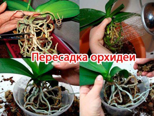 Пересаживать орхидею фаленопсис